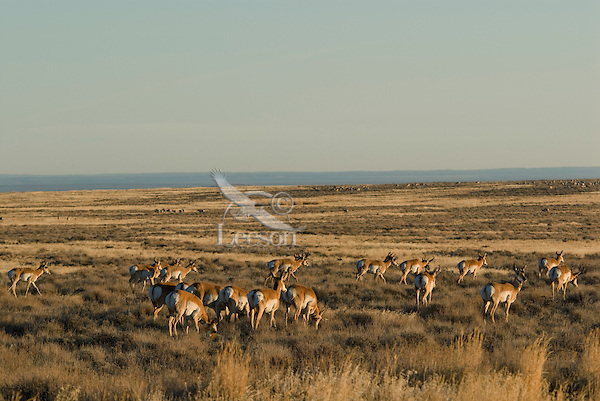 Pronghorn Antelope (Antilocapra americana) herd near the Oregon-Nevada border.  November.