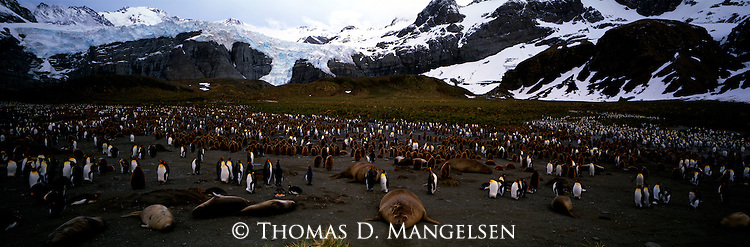 A king penguin colony at Gold Harbor, South Georgia.
