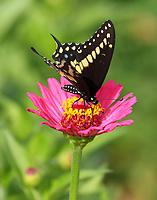 Black swallowtail male on zinnia
