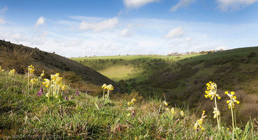 Cowslips {Primula veris} growing on the slopes of a limestone dale, Peak District National Park, Derbyshire, UK. April.