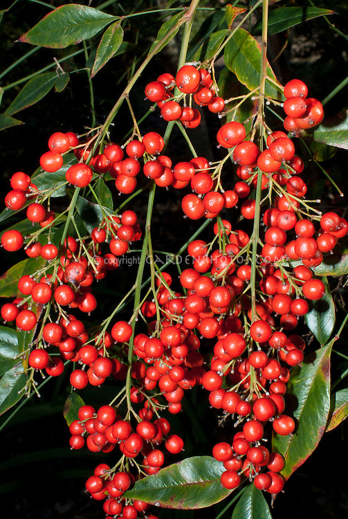Nandina domestica Richmond in autumn berries, Heavenly Bamboo