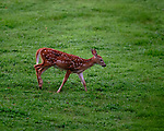 Fawn with Spots. Image taken with a Fuji X-T3 camera and 200 mm f/2 OIS lens