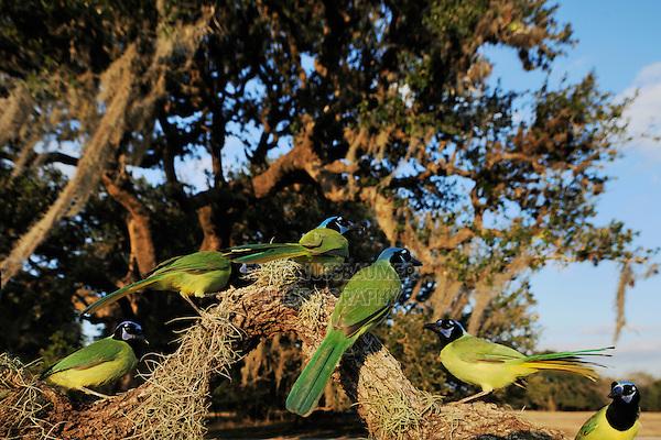 Green Jay (Cyanocorax yncas), group in Live Oak tree (Quercus virginiana), Dinero, Lake Corpus Christi, South Texas, USA