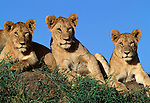 Adolescent African Lions (Panthera leo) near Ndutu, Nogorongoro Conservation Area / Serengeti National Park, Tanzania.