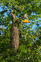Altamira Oriole (Icterus gularis), adult leaving nest, Laguna Atascosa National Wildlife Refuge, Texas, USA