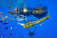 a mahimahi, dorado, or dolphinfish, Coryphaena hippurus, rainbow runners or kamanu, Elagatis binnulata, and ocean triggerfish, oceanic triggerfish, rough triggerfish or spotted triggerfish, Canthidermis maculata, swarm around a pair of buoys installed in offshore waters to support an aquaculture pen - since removed; the buoys, about 4 miles off Keauhou, Kona, Hawaii (the Big Island), now act as a FAD or fish aggregating device; Hawaii, USA (Central Pacific Ocean)