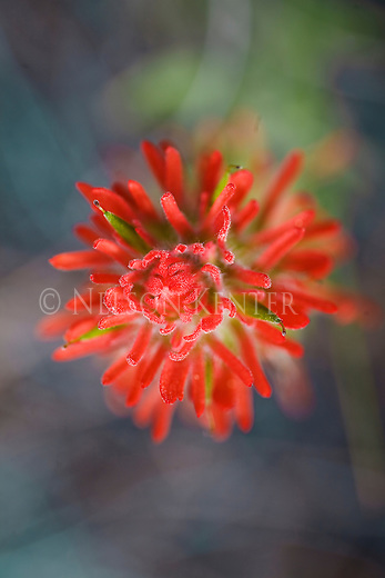 View of the Indian Paintbrush wildflower from the top