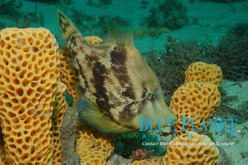 Fan-Bellied Leatherjacket, Monacanthus chinensis, Fly Point Marine Reserve, Port Stephens, New South Wales, Australia, South Pacific Ocean