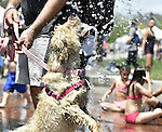 (Boston MA 05/28/16) Ems, held by his owner Gordon Cornett of Ventura Ca., jumps for a cool drink of water, as Boston has it's first 90 degree day of the season, at the sprinklers on the Greenway on Atlantic Ave in Boston. Herald Photo by Jim Michaud