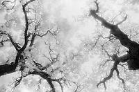 Infrared live oak, Pontotoc, Texas.<br /> <br /> Nikon FM2, 24mm lens, Kodak High Speed Infrared film, red filter