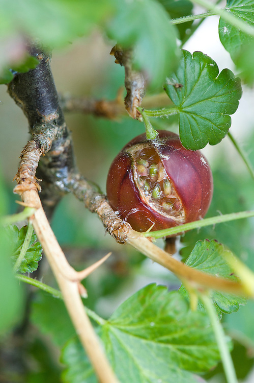 Splits or cracks in gooseberry skins or damage by feeding birds allow bacteria to enter the fruits and cause them to rot. They may also be evidence of attack by capsid bugs, especially if leaves are also holed and tattered.