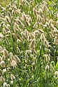 Hare's tail (Lagurus ovatus), mid August. Annual grass native to the Mediterranean.