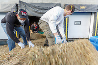 Getting ready for Iditarod 2016, volunteers move bales of hay into the warehouse  as  others bag, zip-tie, stack and shrinkwrap pallets of the  hay on Thursday, February 11, 2016  at Airland Transport in Anchorage. Straw is flown out to all but one checkpoint, Rainy Pass.  Hay is used there because of the pack horses used at the Perrins Rain Pass Lodge.  Nearly 1700 bales will be sent out to over 20 checkpoints along the trail. Iditarod 2016