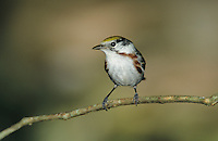 Chestnut-sided Warbler, Dendroica pensylvanica, male, The Inn at Chachalaca Bend, Cameron County, Rio Grande Valley, Texas, USA, May 2004