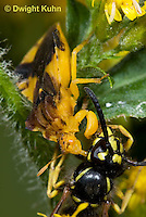 AM02-503z  Ambush Bug female, feeding on Sandhills Hornet prey with long sharp beak,  Phymata americana