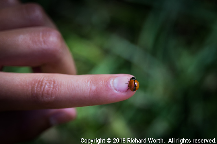 A bit of urban wildlife with a lady bug on a young lady's finger.  A youngster coaxed the bug onto her fingertip at a regional park tucked among the homes and apartments near San Francisco Bay, California.