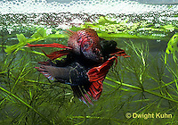 BY05-042z  Siamese Fighting Fish - male mating with egg laden female - Betta splendens