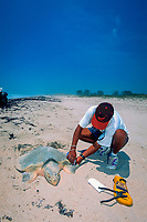 biologist injects PIT (Passive Integrated Transponder) tag into Kemp's ridley sea turtle; Lepidochelys kempii, rice grain-sized tag emits i.d. number when scanned, Rancho Nuevo, Mexico, Gulf of Mexico, Caribbean Sea, Atlantic Ocean