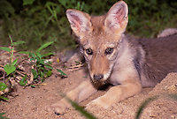 Canis Latrans or coyote pup playing sandpit with sandy nose