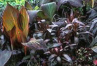 Purple foliage garden, Canna, Lobelia, Oxalis, with orange highlighted Canna plant