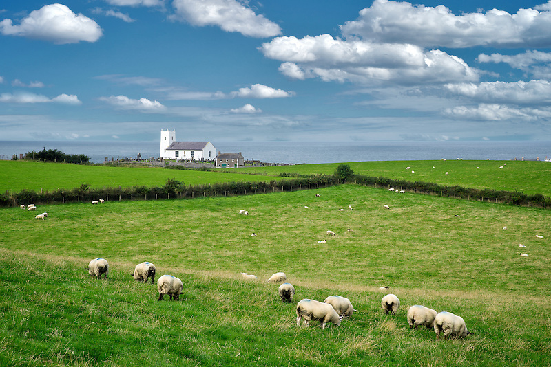 Sheep in pasture with Ballintoy Parish Church and ocean in distance. Ireland.