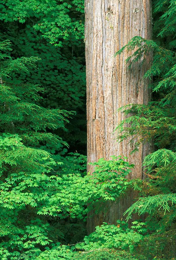 Western red cedar, Cascade Mountains, Washington