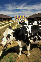 AJ2987, cow, state fair, holstein cows, York, Pennsylvania, Holstein cows waiting for judging at the York Fair (America's oldest agricultural fair) in the town of York in the state of Pennsylvania.