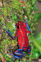 strawberry poison frog or strawberry poison-dart frog, Oophaga pumilio, formerly Dendrobates pumilio, Selva Verde Nature Reserve, Rio Sarapiqui region, Heredia, Costa Rica, Central America