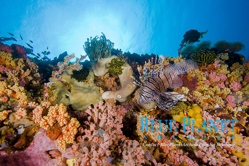 Common Lionfish, Pterois volitans, Lembeh, North Sulawesi, Indonesia,