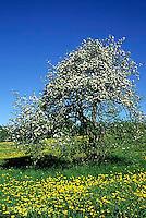 AT01-010b   Apple Tree - spring blossoms