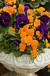 VIOLA CORNUTA 'PENNY ORANGE' AND VIOLA WITTROCKIANA 'MAMMOTH DEEP BLUE DAZZLE', PANSY