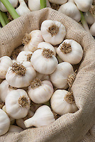Garlic 'Picardy Wight'