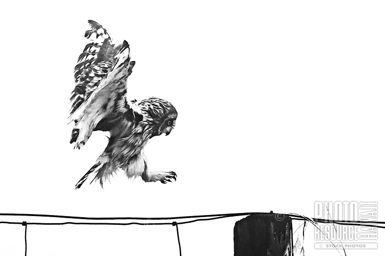 Talons extended, the endemic Hawaiian owl, or pueo, comes in for a landing on a fence post in Kamuela, Big Island.