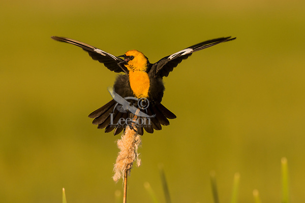 Yellow-headed Blackbird (Xanthocephalus xanthocephalus) singing spring territorial-mating song.  Klamath Marsh National Wildlife Refuge, Oregon. May.