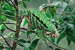 Male Globe-headed Chameleon (Calumma globifer) in mid-altitude montane rainforest, near Anjozorobe, eastern Madagascar.