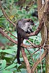 A coati in the rainforest near Manuel Antonio National Park, Costa Rica