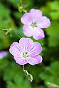 Geranium x riversleaianum 'Mavis Simpson', early July.