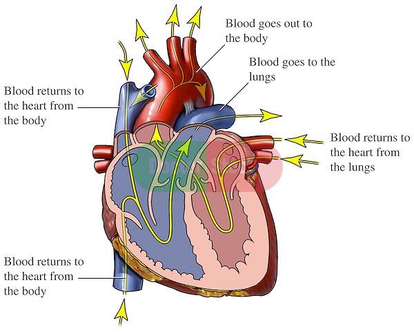 This medical exhibit diagram pictures an anterior (front) cut-away view of the heart with arrows indicating the path of blood flow through the heart chambers and blood vessels. Arrows and labels indicate blood returning to the heart from the body; blood flowing out of the heart to the lungs; blood returning to the heart from the lungs; and blood flowing out to the body.