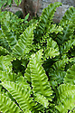 Asplenium scolopendrium, mid August. Commonly known as the Hart's tongue fern.