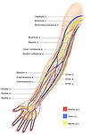 Anatomy of the Nerves, Arteries and Veins of the Arm (Upper Extremity). Labels include cephalic vein, brachial artery/vein, basilic vein, musculoskeletal nerve, ulnar collateral artery, radial collateral artery, ulnar nerve/artery/vein, interosseous artery/vein, median nerve and radial nerve/artery/vein.