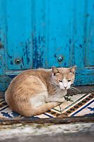 Afrique/Afrique du Nord/Maroc/Essaouira: Chat de la médina