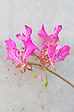 Pelargonium endlicherianum, glasshouse, late June.  A clump-forming hardy perennial native to the cooler desert areas of  Turkey and Syria. The relatively large flowers comprise two large, upper, carmine-magenta petals and three much smaller lower ones.