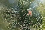 San Diego, California; a Spotted Orbweaver (Neoscona crucifera) spider in it's web, backlit by early morning sunlight