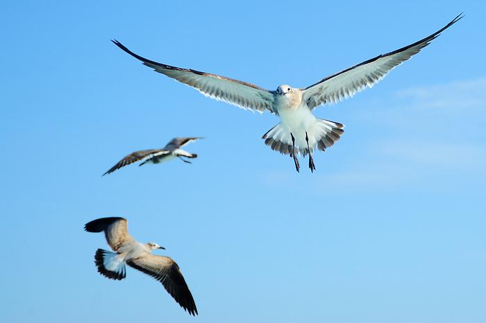 Gaviotas en vuelo / aves de Panamá.<br /> <br /> Seagulls flying / birds of Panama.<br /> <br /> Edición de 10   Víctor Santamaría.