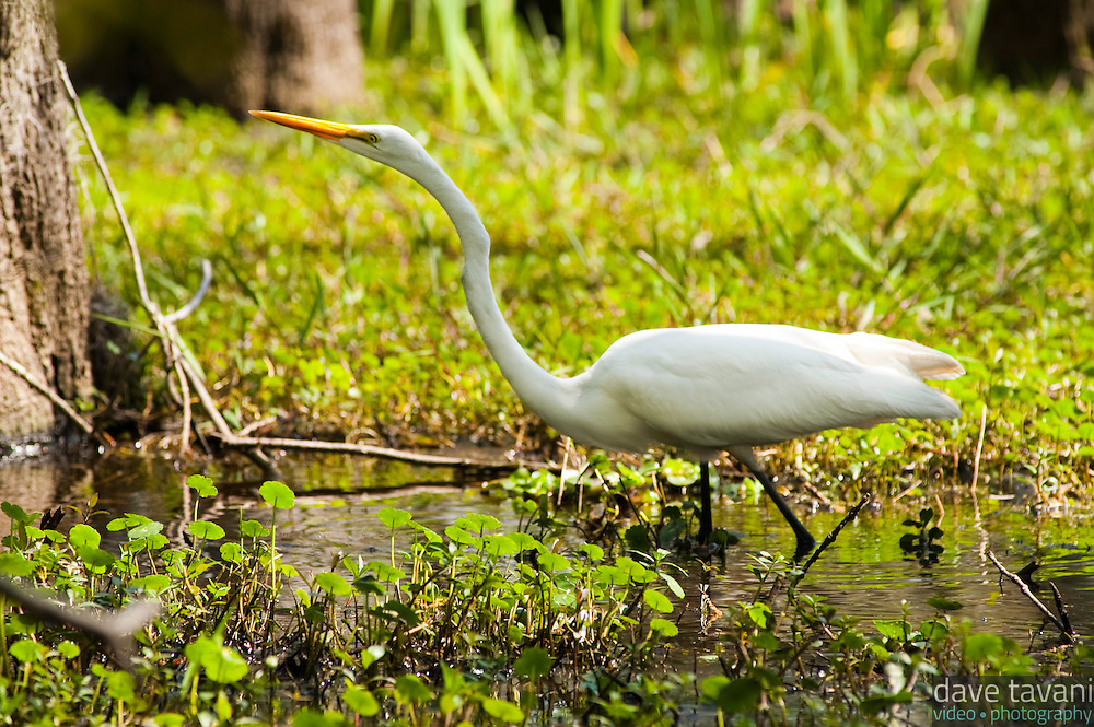 A great egret wades through the bayou at Jean LaFitte National Park in Louisiana.