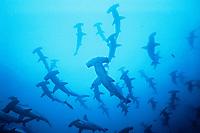 scalloped hammerhead shark, Sphyrna lewini, schooling, Galapagos Islands, Ecuador, Pacific Ocean