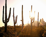 The Ajo Mountains and Saguaro cactus (Carnegiea genus)  at sunset, Organ Pipe Cactus National Monument, southern Arizona, USA .  John offers private photo tours in Arizona and and Colorado. Year-round.