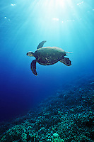 Green Sea Turlte (Chelonia mydas), underwater off the Kona Coast of Hawaii, USA.