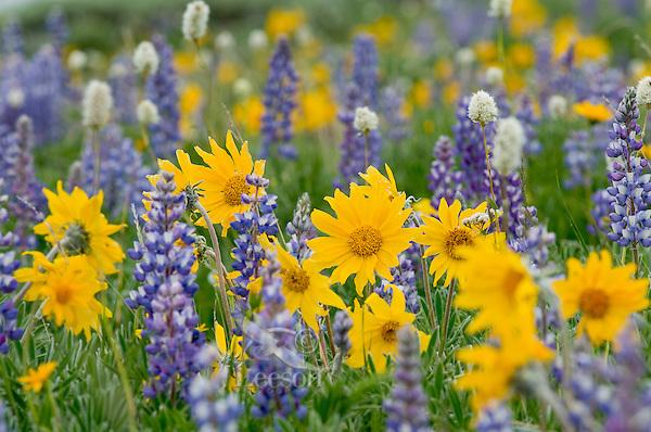 Wild wilflower garden--balsamroot, bistort and lupine.  Northwestern Wyoming.