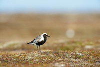 Male Black-bellied Plover (Pluvialis squatarola) in breeding plumage watching a gull fly overhead. Yukon Delta National Wildlife Refuge, Alaska. June.